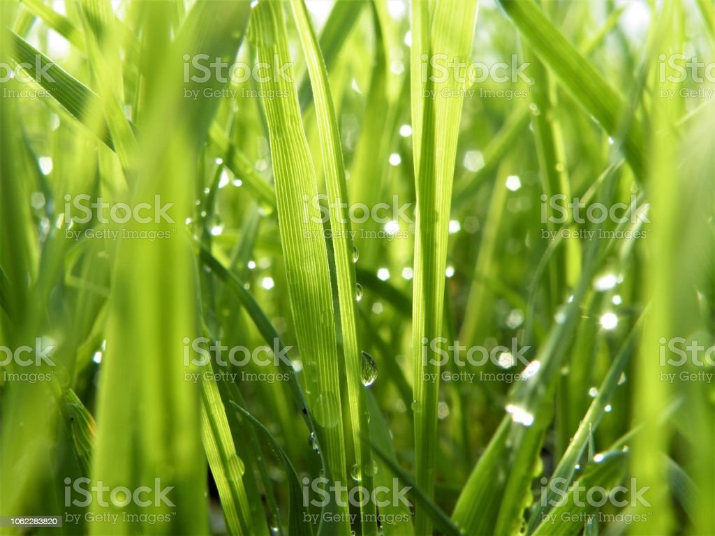 Fresh Green grasses green bacground with water drops stock photo