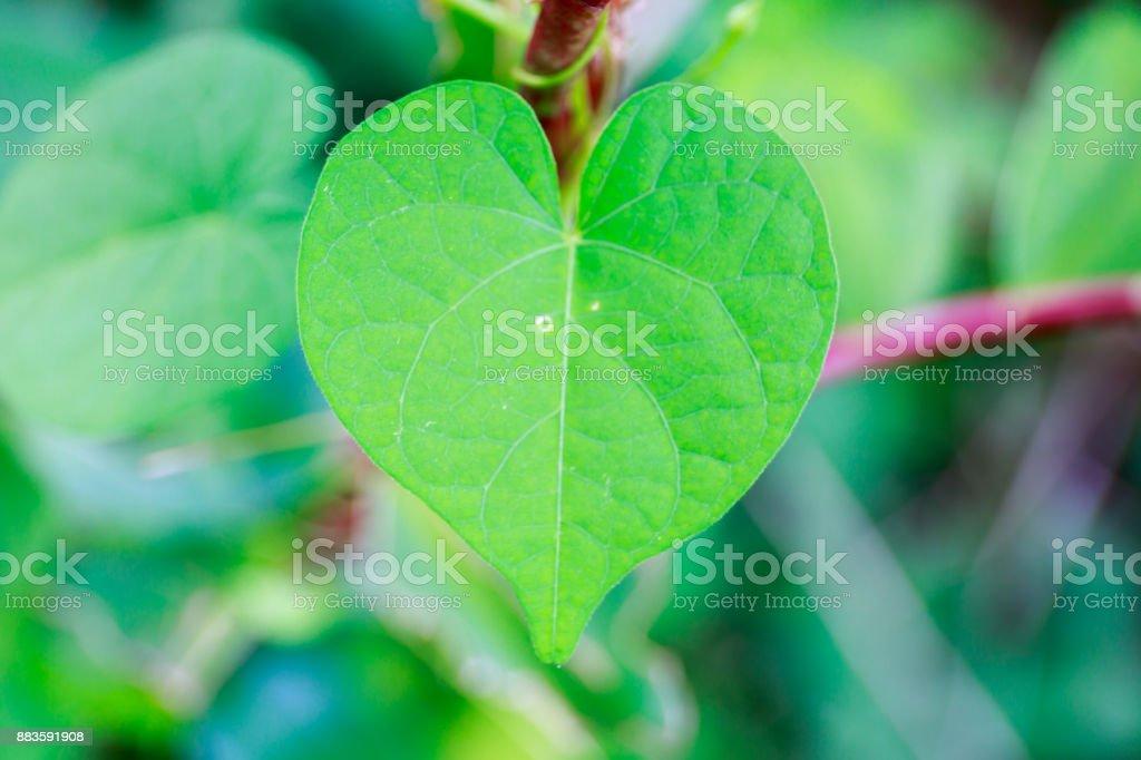 Fresh Green Heart-Shaped Leaf in Tropical Asia stock photo