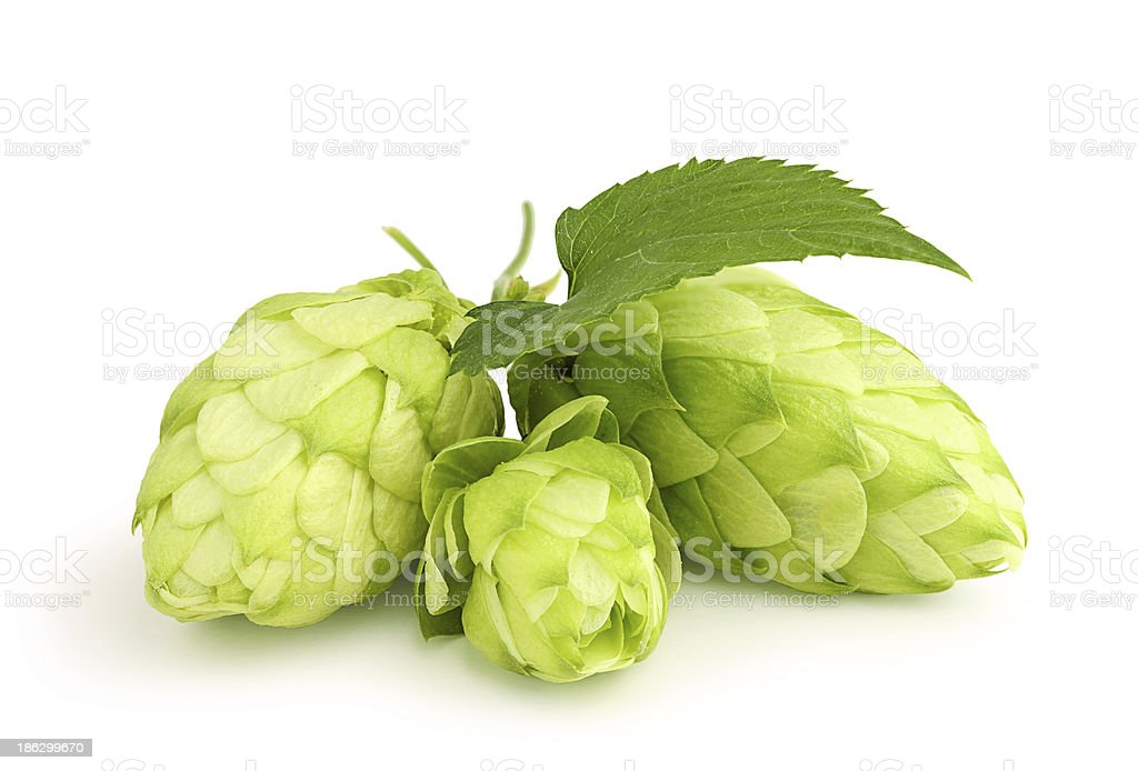 Fresh green hops leaf . stock photo