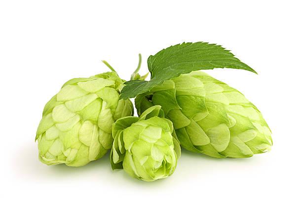 Fresh green hops leaf . stock photo