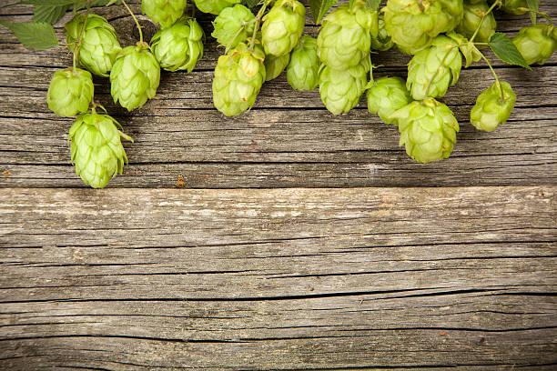 Fresh green hops stock photo