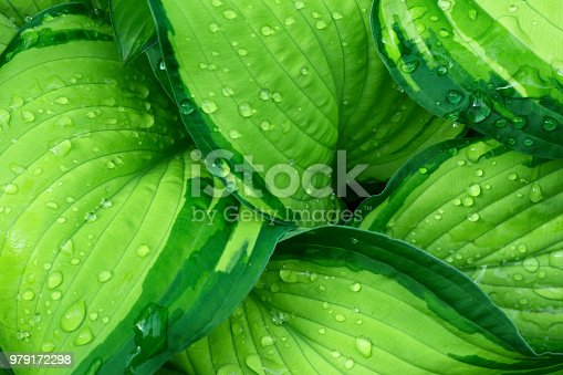 Fresh Green Hosta Plant Leaves after Rain with Water Drops. Botanical Foliage Nature Background. Wallpaper Poster Template. Organic Cosmetics Wellness Spa Environmental Conservation