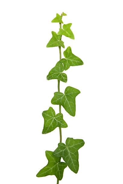 frisches grün efeu, isoliert auf weiss - poison ivy pflanzen stock-fotos und bilder