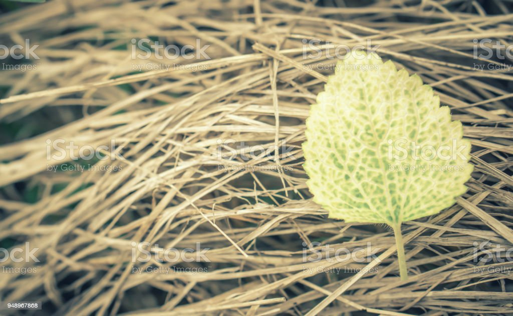 fresh green  leaf on dry grass abstract spring season background stock photo
