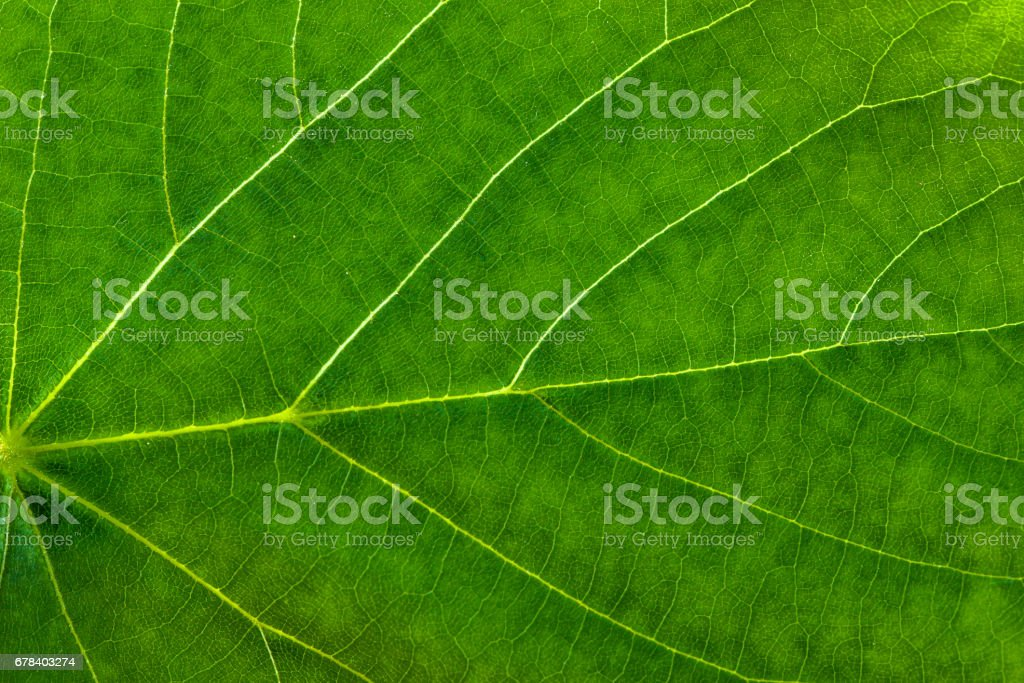 Fresh green leaf texture, leaf macro background stock photo