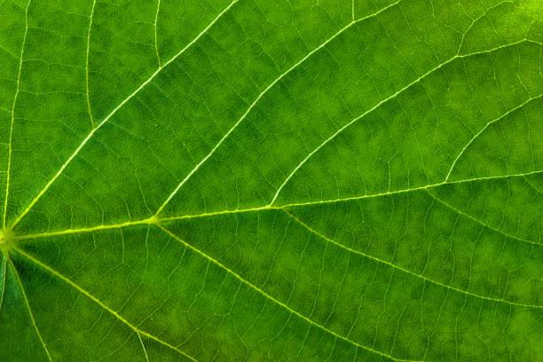 frische grüne blatt textur, blatt makro hintergrund - eichenblatt stock-fotos und bilder