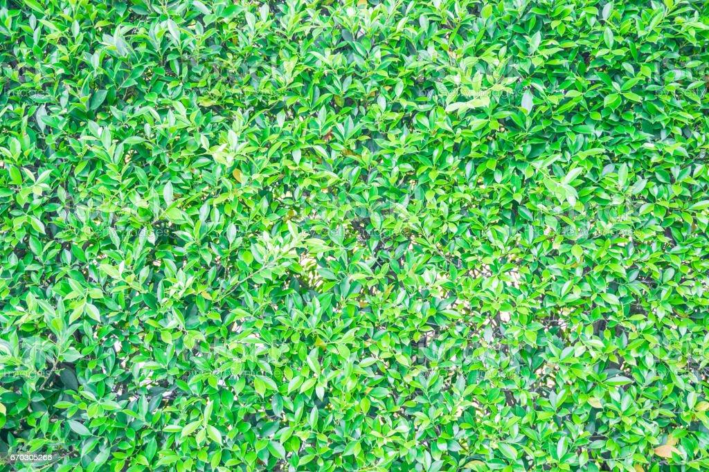 fresh green leaf wall background stock photo