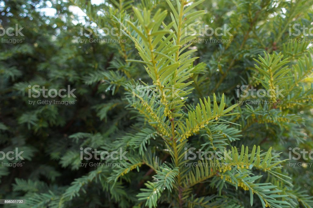 Fresh green leafage and immature male cones of yew stock photo
