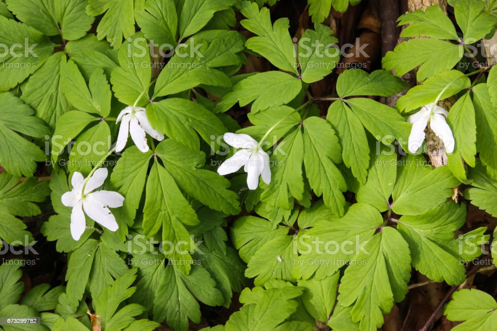 fresh green leafs and flowers in german beech forest in springtime royalty-free stock photo