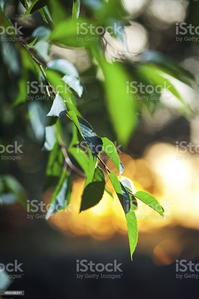 Fresh green leafs on sunset royalty-free stock photo