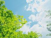 新緑のもみじと空
