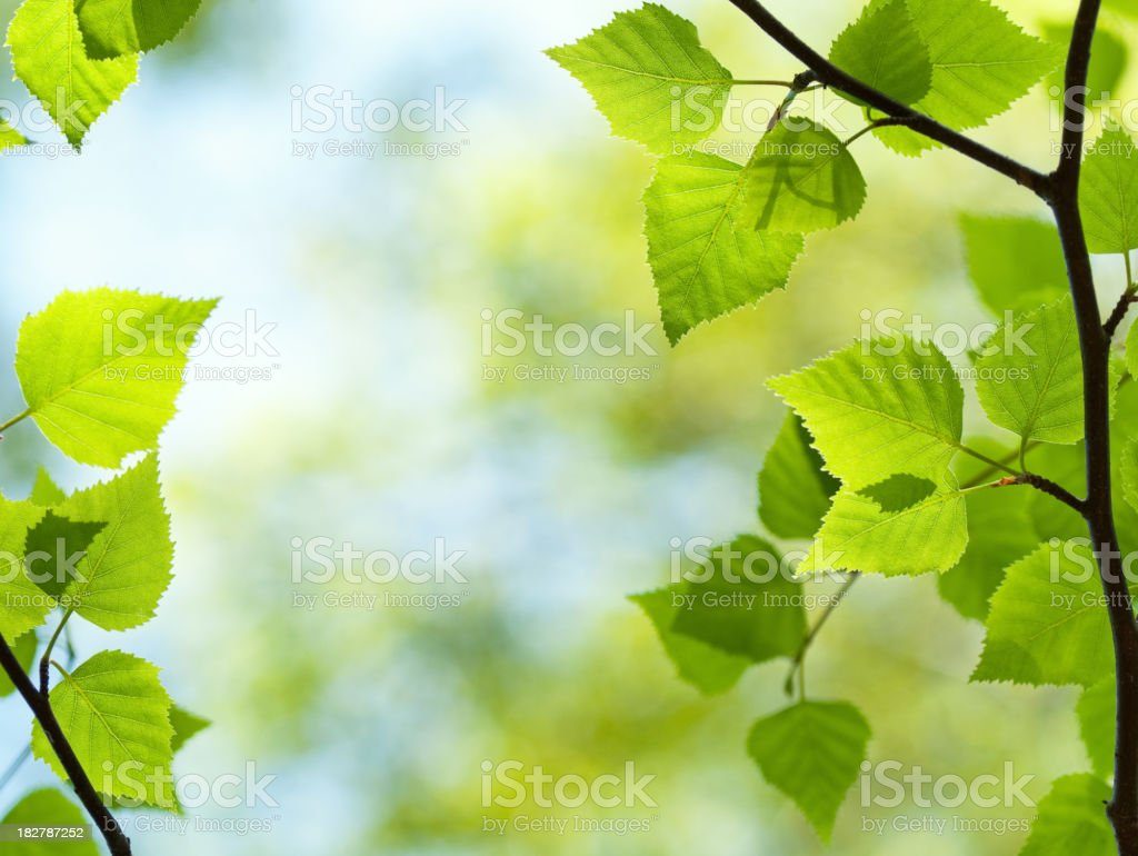 Fresh green leaves from a young tree stock photo