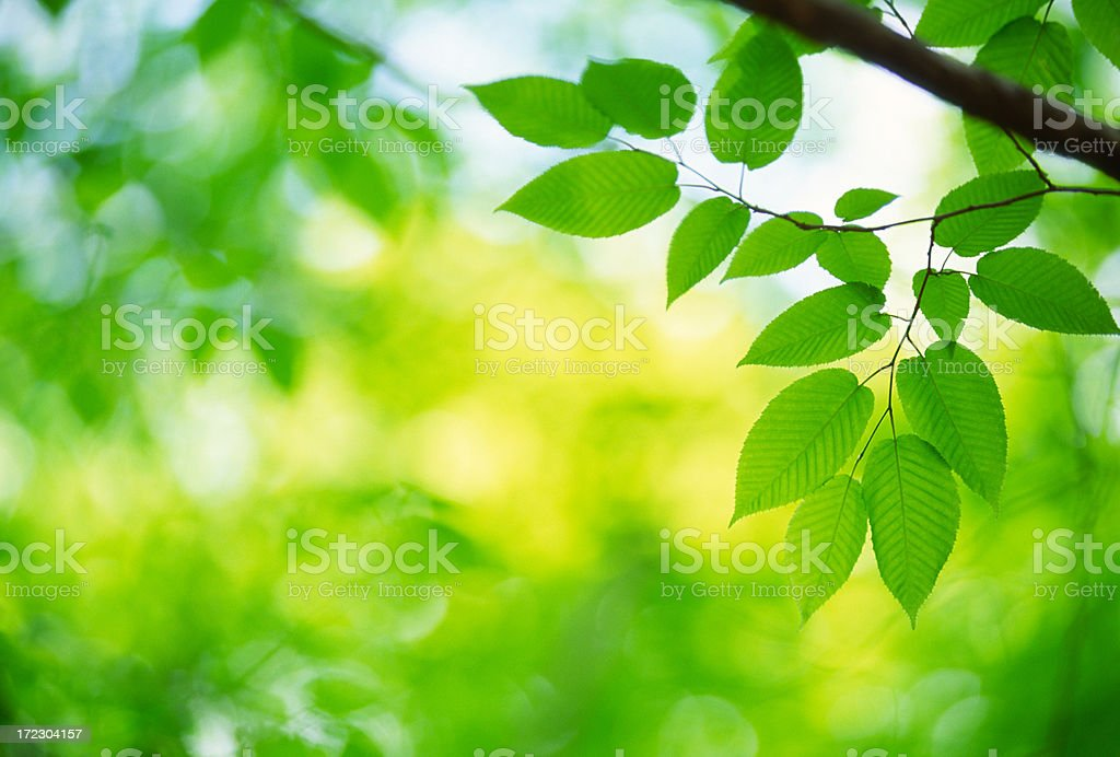 Fresh Green Leaves in Forest royalty-free stock photo