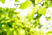 Fresh green leaves in springtime.