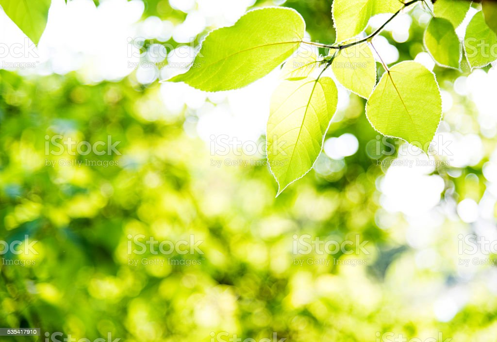 Fresh green leaves in springtime stock photo