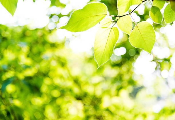 Fresh green leaves in springtime stock photo