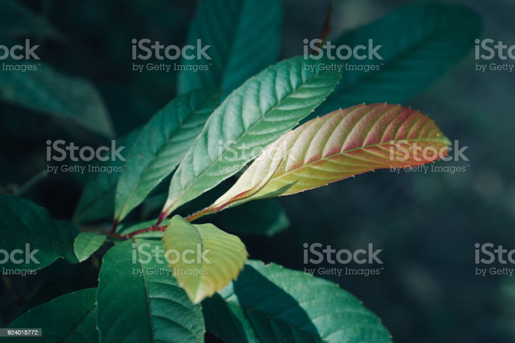 fresh green leaves in the forest ,spring nature background stock photo