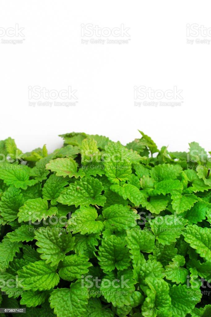 Feuilles vertes fraîches de mélisse comme arrière-plan photo libre de droits