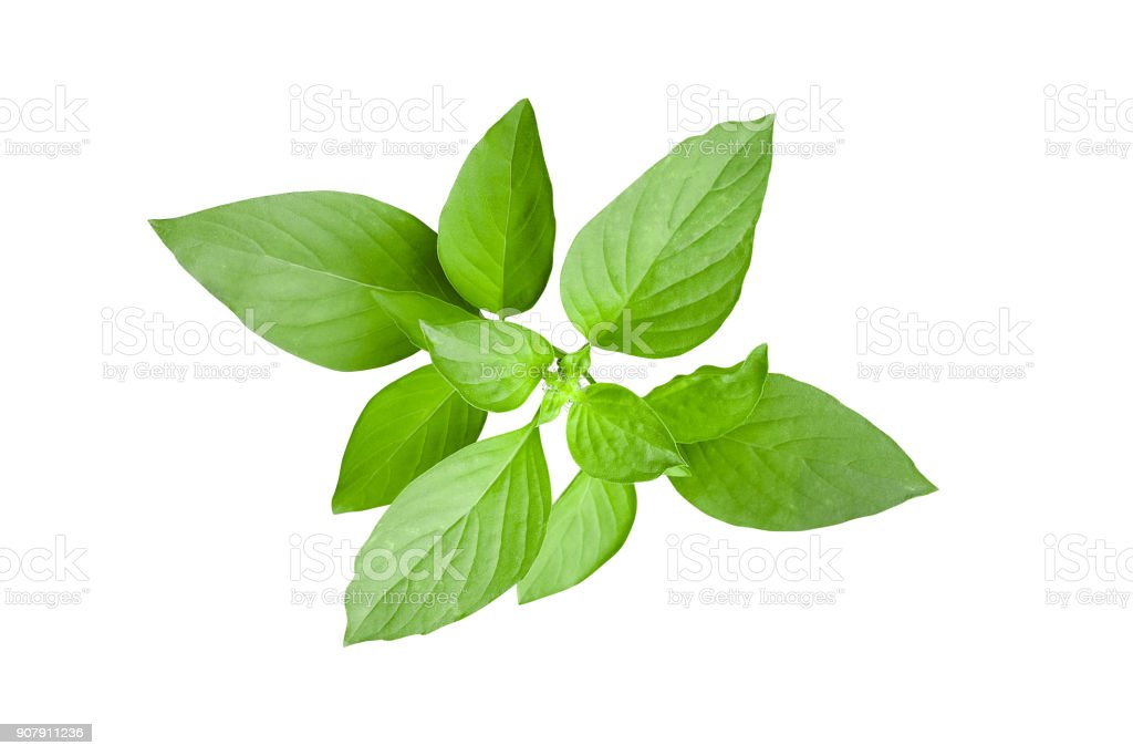 Fresh green leaves of Thai lemon basil or hoary basil tropical herb plant isolated on white background, clipping path included. stock photo