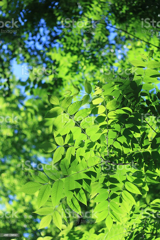 Fresh green leaves on sunny summer day stock photo
