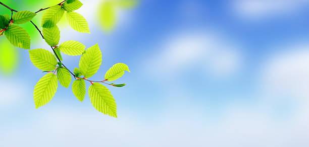 Fresh green leaves panorama picture id183752342?b=1&k=6&m=183752342&s=612x612&w=0&h=udcdh2gubgw3yowfpawcytlahzeksovu rifanujdbm=