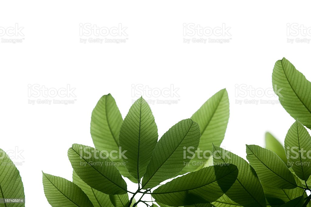 Fresh Green Leaves royalty-free stock photo