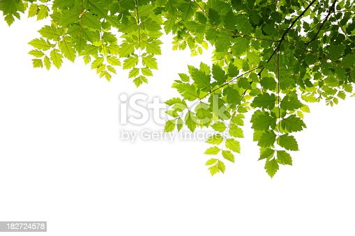 Fresh green leaves on white sky.