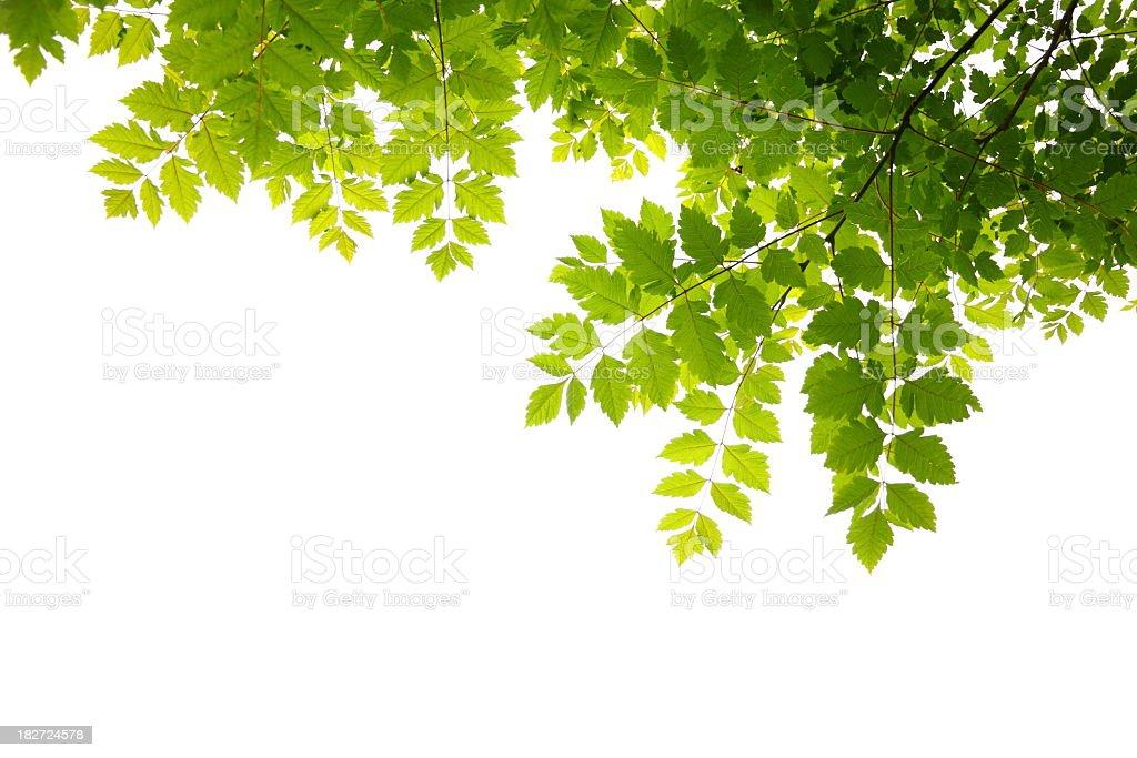 Hojas verdes frescas - foto de stock