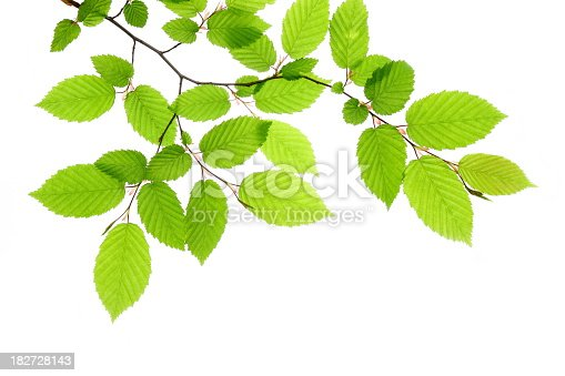 Beech leafs on white background.
