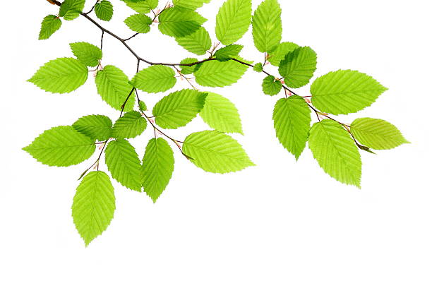 Fresh Green Leaves Beech leafs on white background. beech tree stock pictures, royalty-free photos & images