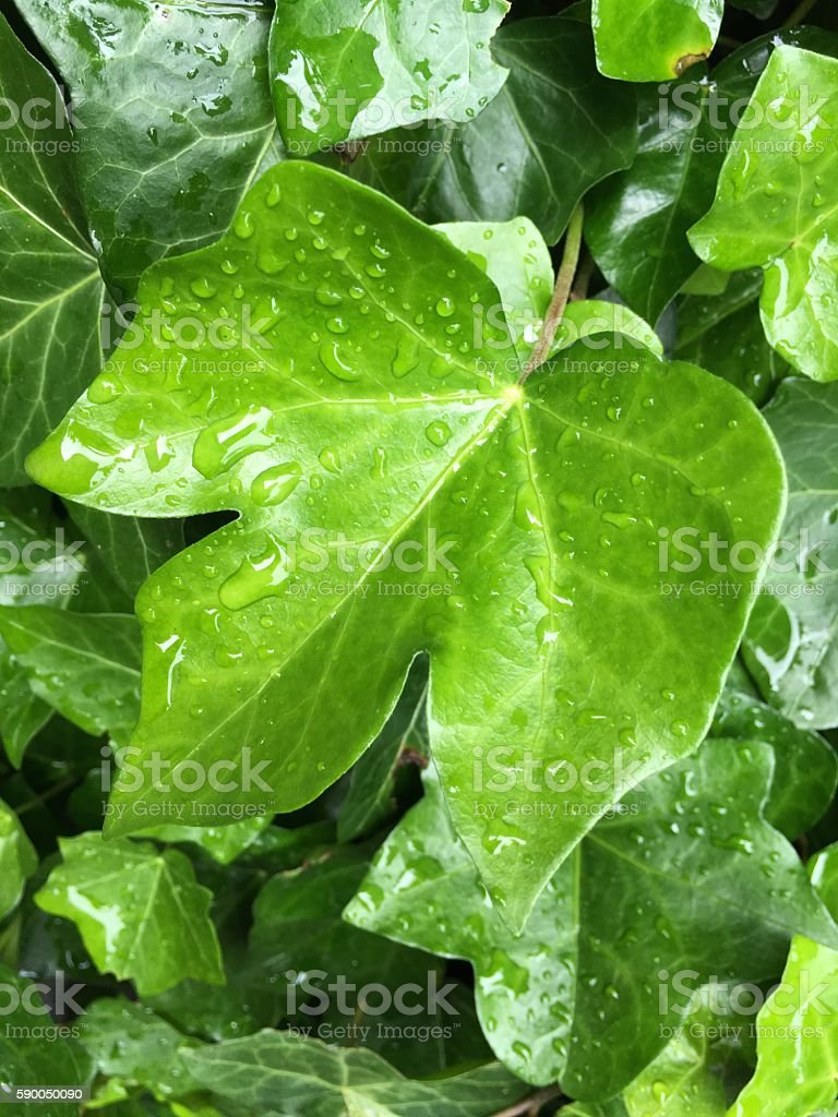 Fresh green leaves with drops of water stock photo