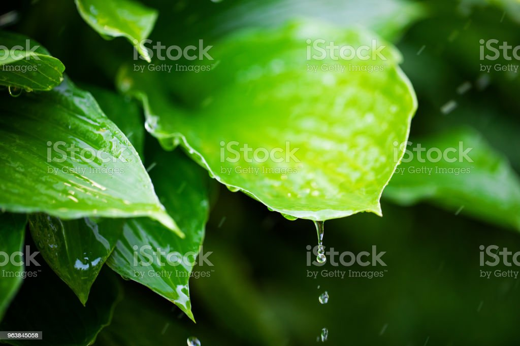 fresh green leaves with rain water drops - Royalty-free Clean Stock Photo