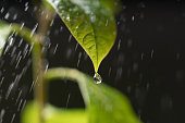 Fresh green leaves with water drop avocado tree.