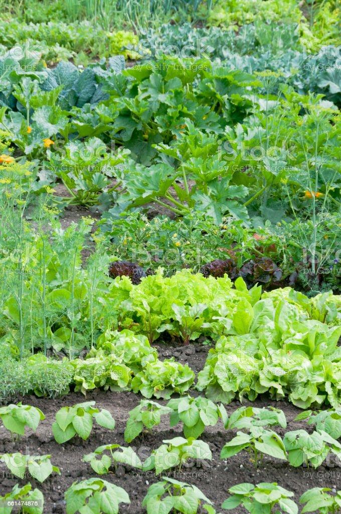 Fresh green lettuce and bush bean plants - foto de acervo