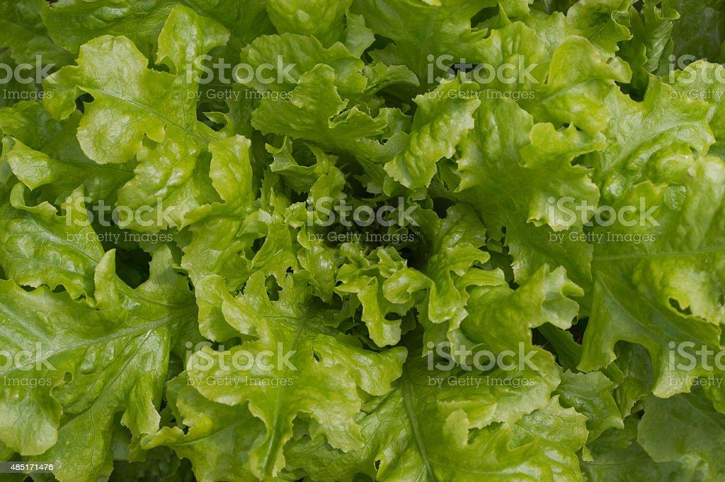 Fresh green lettuce background stock photo