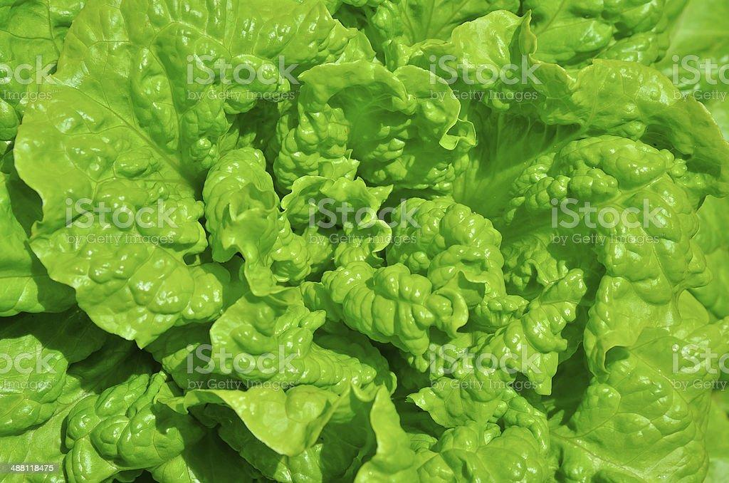 Fresh green lettuce royalty-free stock photo