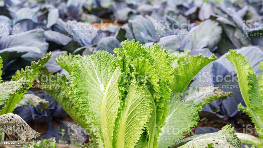 Royalty Free Rows Of Romaine Lettuce Growing On Farm Pictures