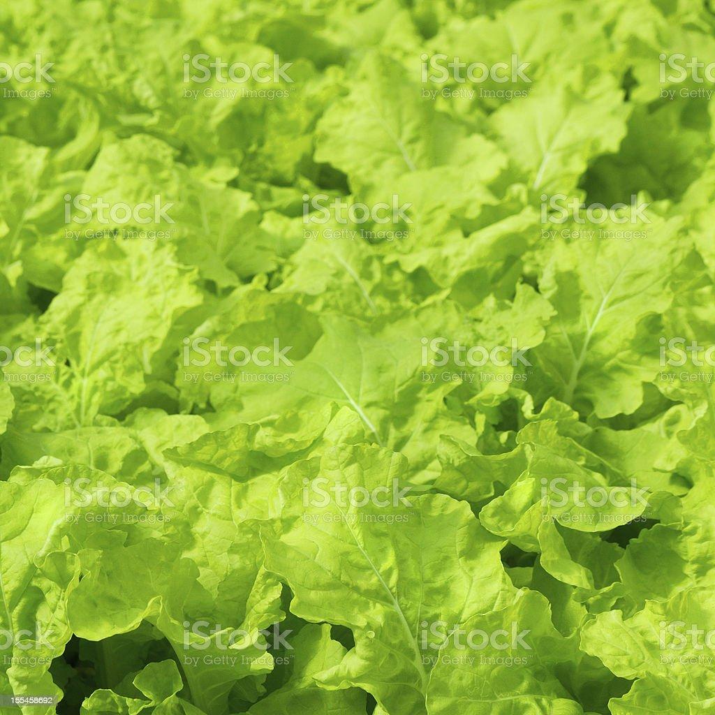 Fresh green Lettuce salad background royalty-free stock photo