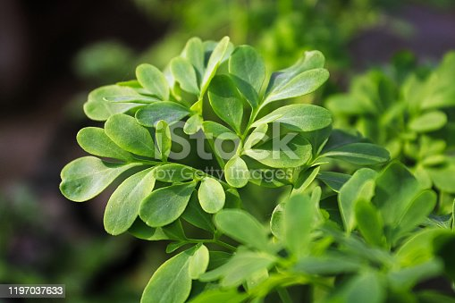 Fresh green live rue herb leaves growing.