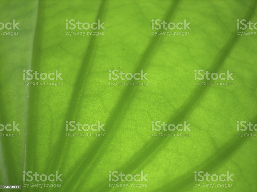 Fresh green lotus leaf royalty-free stock photo