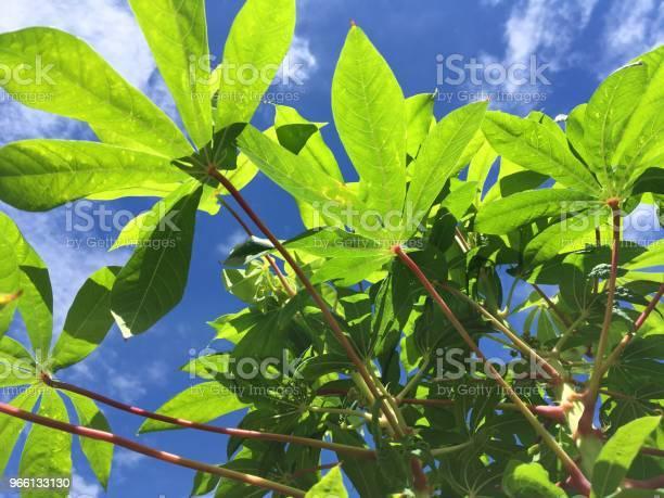Pianta Di Esculenta Manihot Verde Fresca Nel Giardino Naturale - Fotografie stock e altre immagini di Agricoltura