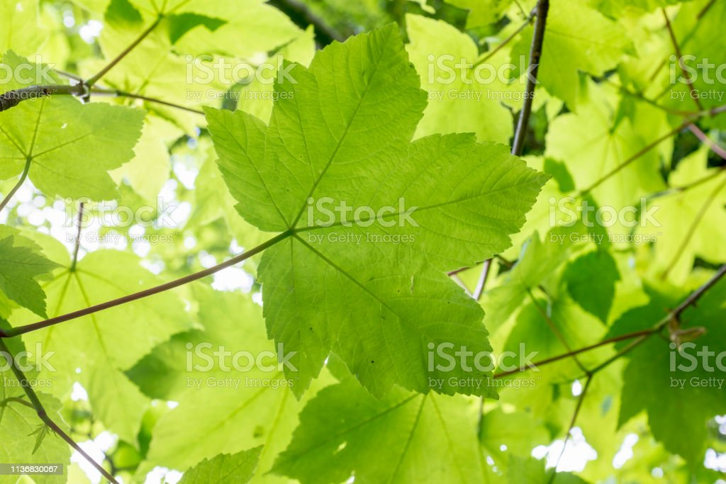 Fresh Green Maple Leaves Fresh Green Maple Leaves Backgrounds Stock Photo