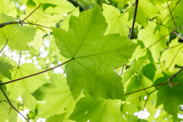 Fresh Green Maple Leaves Fresh Green Maple Leaves sycamore tree stock pictures, royalty-free photos & images