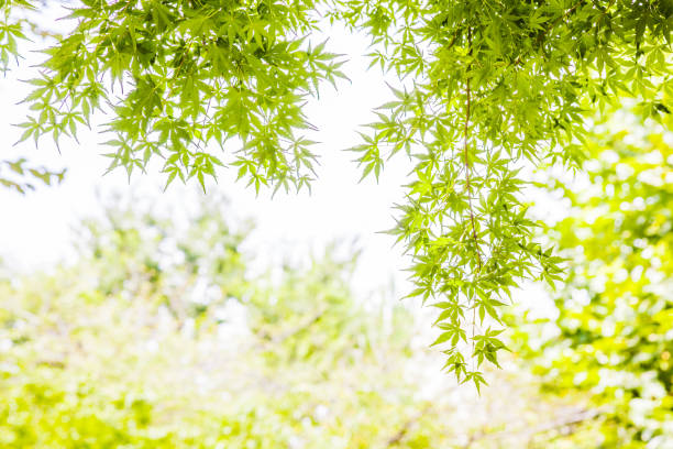fresh green maple - foliate pattern stock photos and pictures
