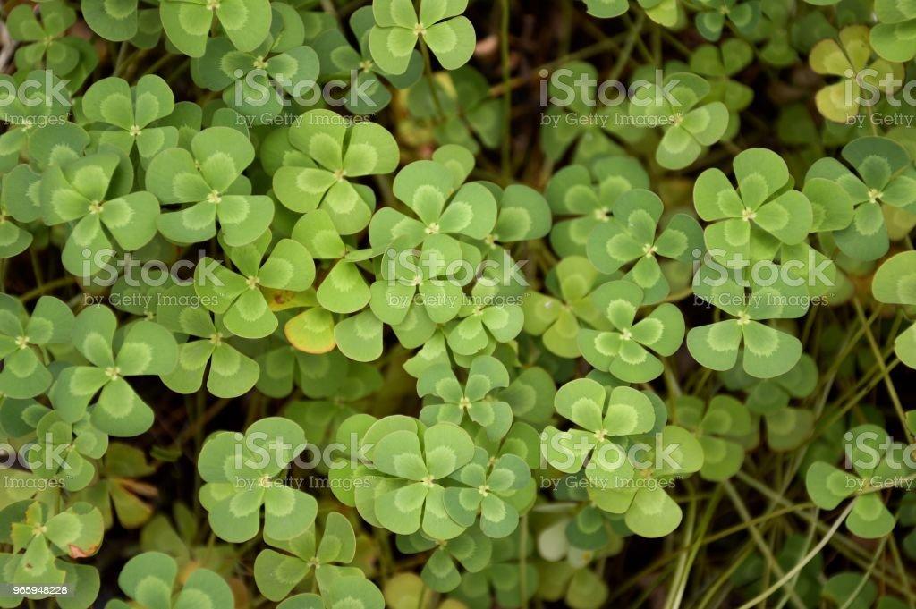 fresh green marsilea crenata plant in nature garden - Royalty-free Clover Stock Photo