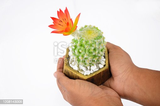 Fresh green miniature cactus tree gently held by a random person over an isolated white background