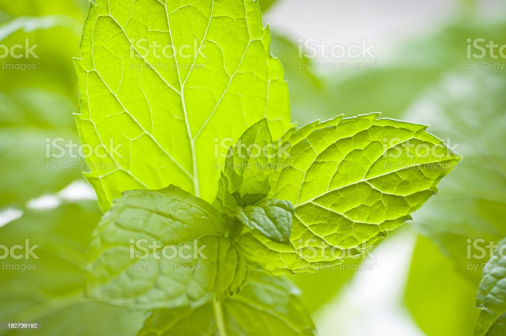 fresh green mint leaves - close-up royalty-free stock photo