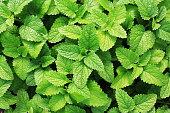 Fresh green mint plants in growth at field