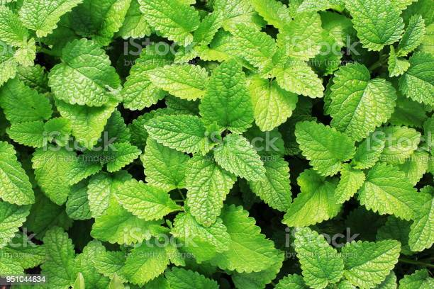 Photo of Fresh green mint plants in growth at field