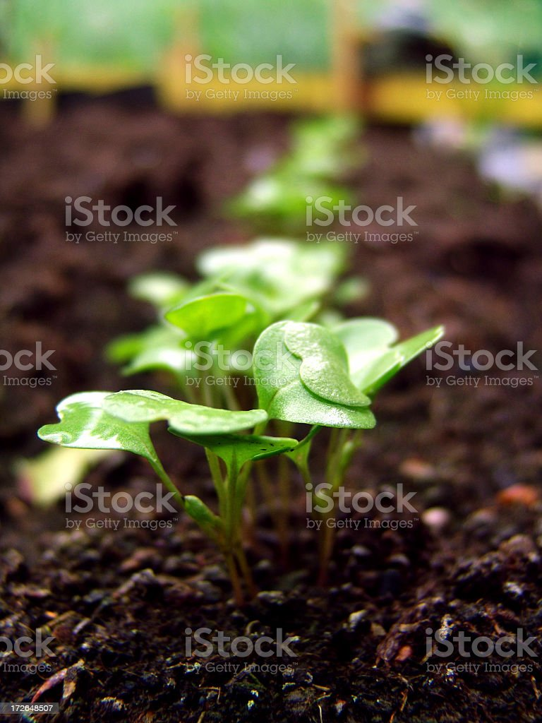 Fresh green newcomer planted in soil lined up in a row stock photo